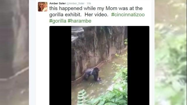 Gorilla killed after boy falls in enclosure (Source: ?@Amber_Soler )