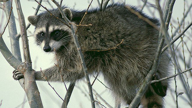 Raccoon, stock photo. (SOURCE: Wikimedia Commons)
