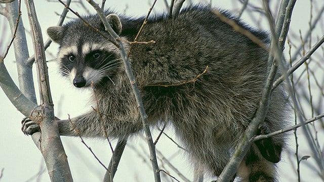 Raccoon, stock photo. (SOURCE: Wikimedia Commons)