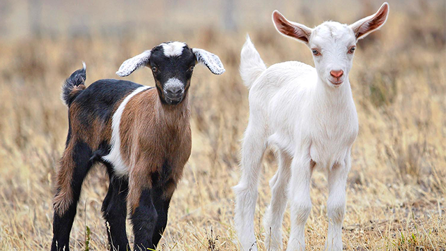 Goats, stock photo. (Via: Wikimedia Commons)