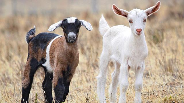 Goats, stock photo. (Via: Wikimedia Commons)