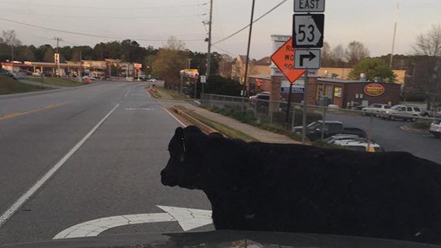 A cow in Watkinsville sparked more than a little controversy as the sheriff's office made the difficult decision to shoot the animal they said to prevent harm to a driver or the cow herself. (SOURCE: Facebook)