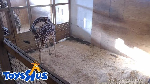 April the Giraffe is giving birth from NY zoo