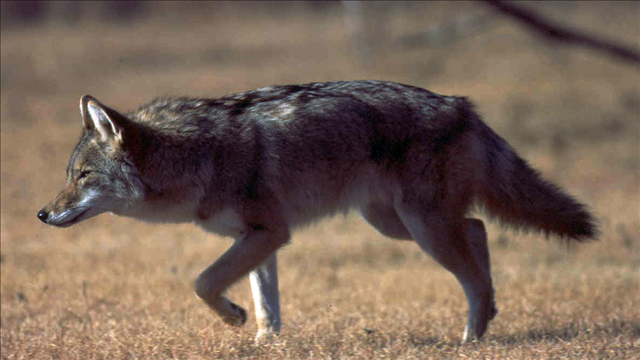 Stock footage of coyote (Source: MGN Online)
