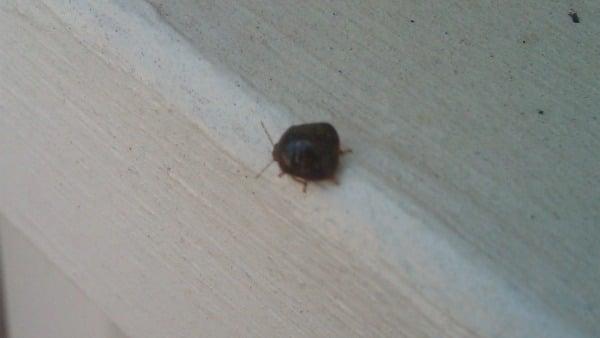 Kudzu stink bugs invad...