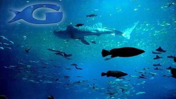 Beluga Whale Calf At Ga Aquarium Dies Cbs46 News