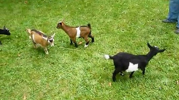 Baby Goats Playing | Car Interior Design