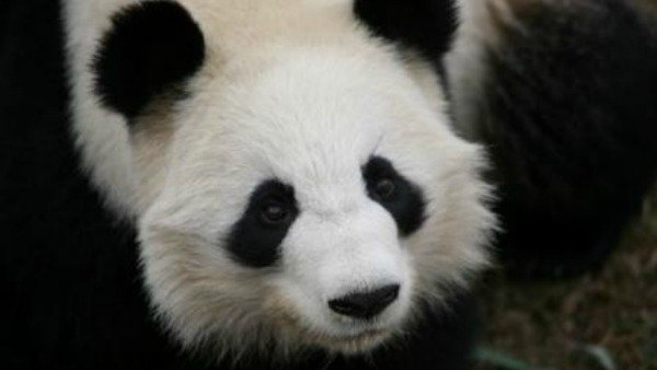 Lun Lun, photo courtesy of Zoo Atlanta