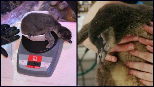 Georgia Aquarium Shares Photos Of African Penguin Chicks