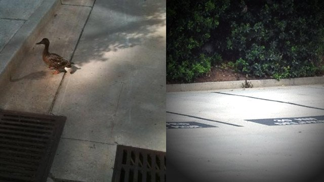 Left: Mother duck (Courtesy: PETA) | Right: Ducklings (Courtesy: Alpharetta Fire Department)