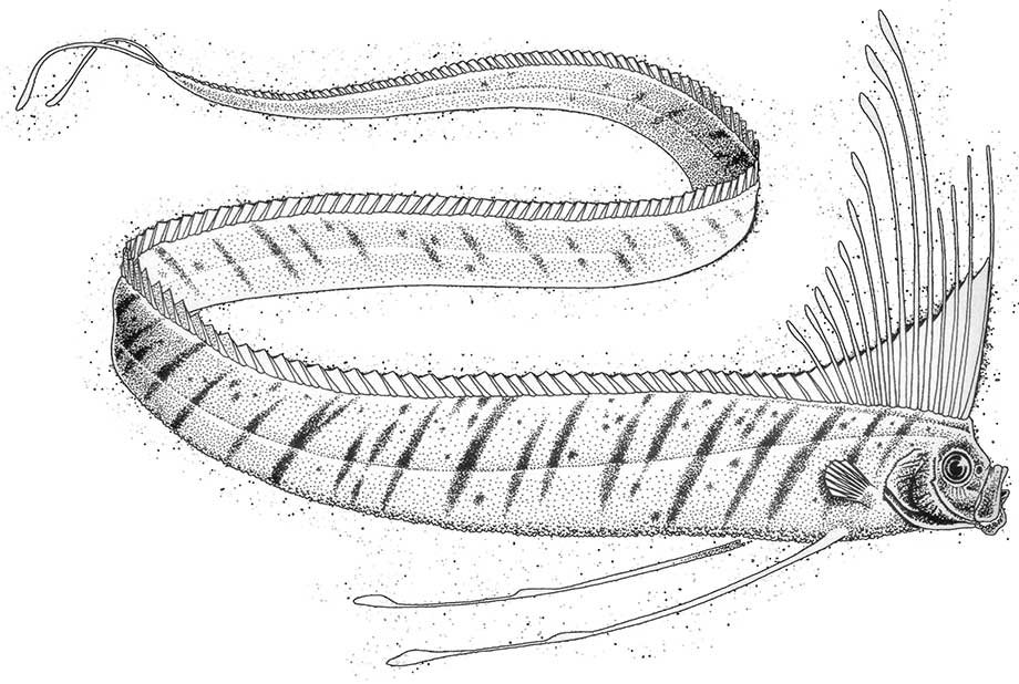 Oarfish are rarely seen, dead or alive. They are the longest bony fish species, topping at around 56 feet. It is believed that oarfish dive over 3000 feet deep, which leaves them largely unstudied.