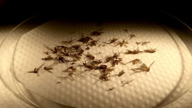 mosquitoes in the lab