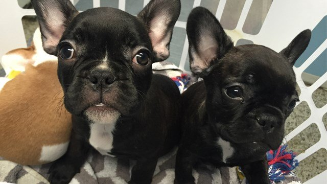 atlanta bulldog atlanta area police recover stolen french bulldog puppies 4465